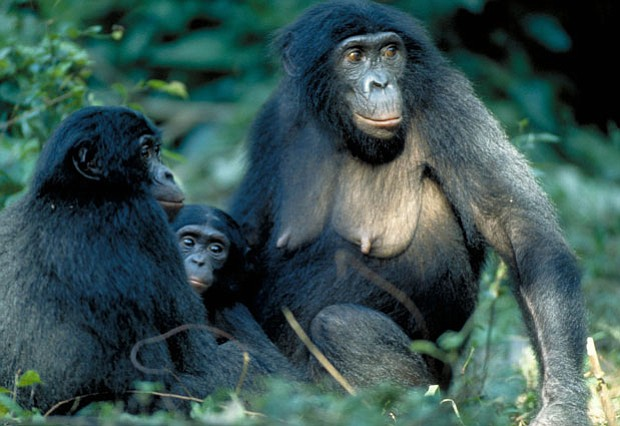 Three bonobos sitting together. Unlike chimps, known for their violent behavi...