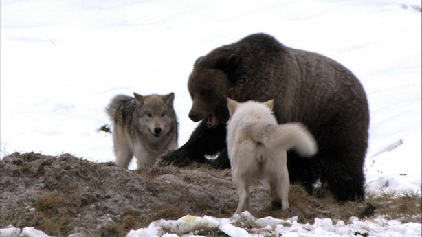 Grizzly and wolves. What happens when Yellowstone's top predators face off? T...
