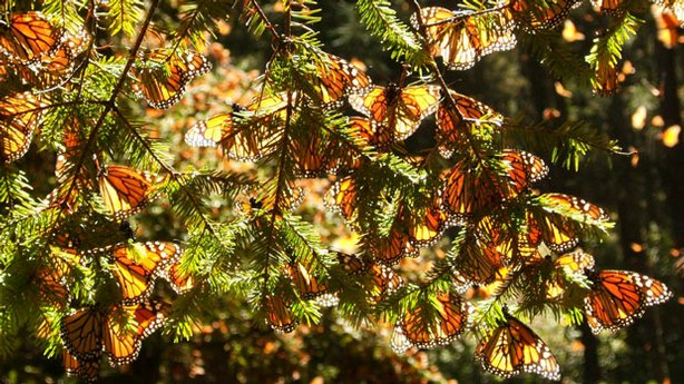 Monarchs clustered in a tree.
