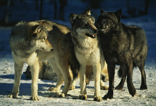 Three Druid wolves in Yellowstone's beautiful Lamar Valley.