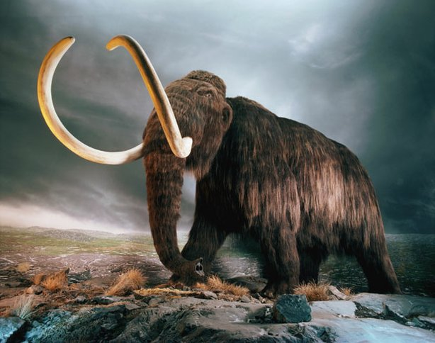 Replica of a woolly mammoth on display at the Royal British Columbia Museum i...