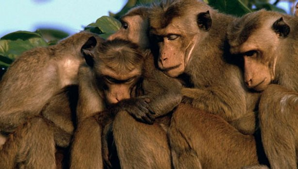 "Toque macaques huddle together after a member of their troop is killed in ""Nature: Clever Monkeys."""