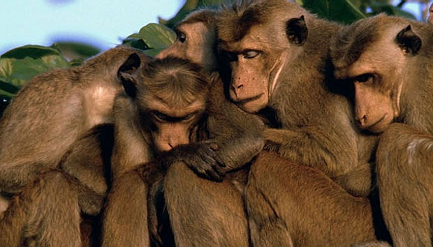 Toque macaques huddle together after a member of their troop is killed in