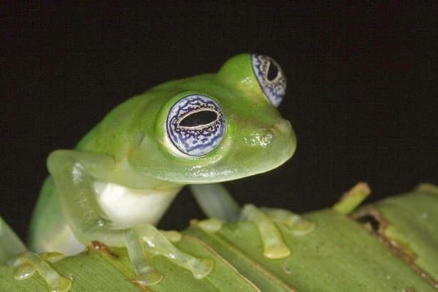A frog's bulging eyes allow it to see front, side and even partly behind.