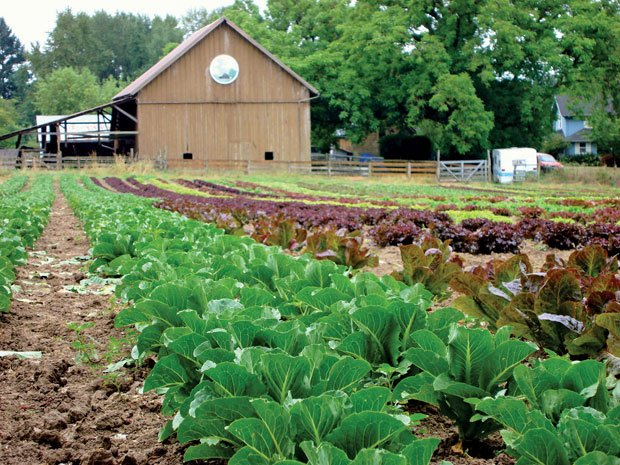 Walnut Hill Farm lettuces and herbs ready for harvest in Oregon.