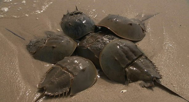 Each spring, the humble horseshoe crab (pictured), a creature that has remained virtually unchanged for 300 million years, produces millions of eggs that are the lifeline for a tiny bird called a red knot, which migrates 10,000 miles from South America to the Arctic each year.