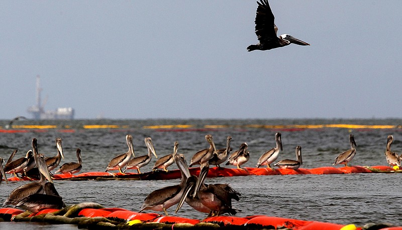Pelicans rest on oil retention boom on July 25, 2010 near Grand Isle, Louisia...
