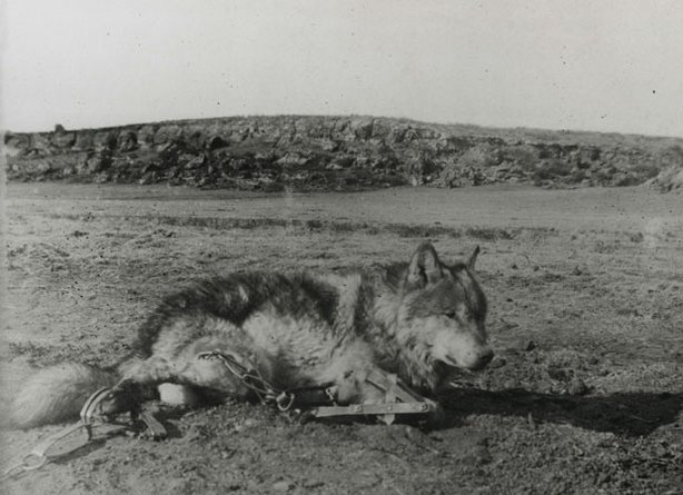 This remarkable photograph was taken by Ernest Thompson Seton himself at the very moment when he first discovered Lobo caught in his traps in the Currampaw Valley of New Mexico in the winter of 1894. It took four traps - one on each leg - to stop the clever and deadly wolf in his tracks.