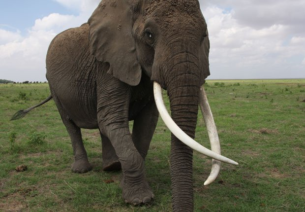 Echo, an elephant matriarch, was the subject of many films and the leader of ...