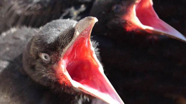 A close-up photo of baby crows from