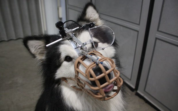 Rebel — a dog participating in a scientific study at the University of Lincol...