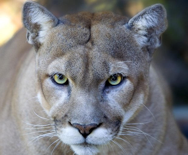 A photo of a cougar in Zion National Park. In this park, scientific research ...