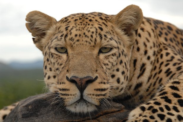 Close-up photo of a leopard. Leopards are very shy, despite their size and st...