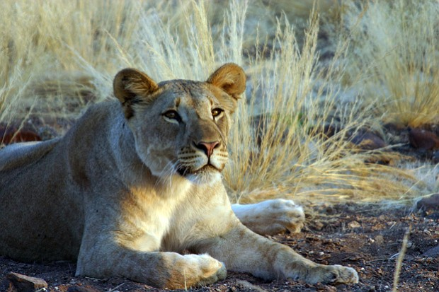 A young lioness in the Namib Desert on Africa's wild and forbidding Skeleton ...