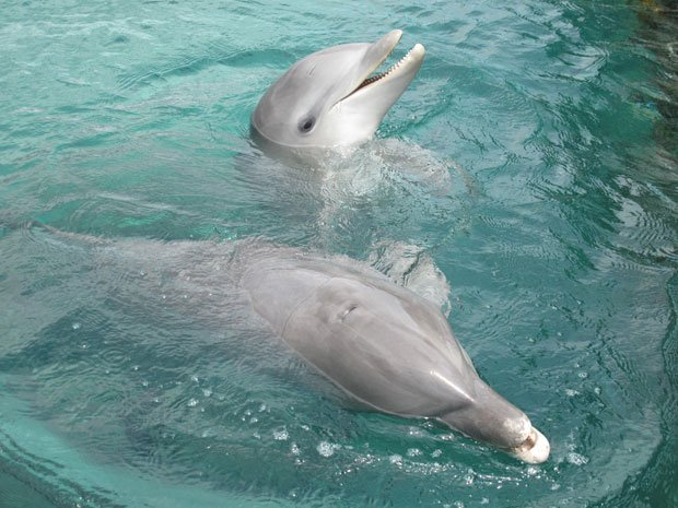 Dolphins swimming in water. Off the coast of Honduras, on Roatan Island, a le...