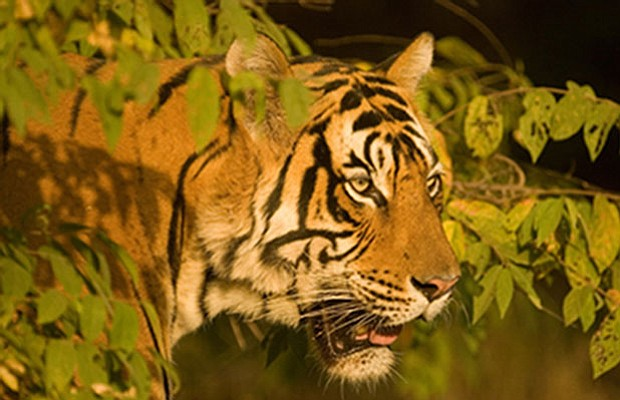 A tiger in Ranthambhore from