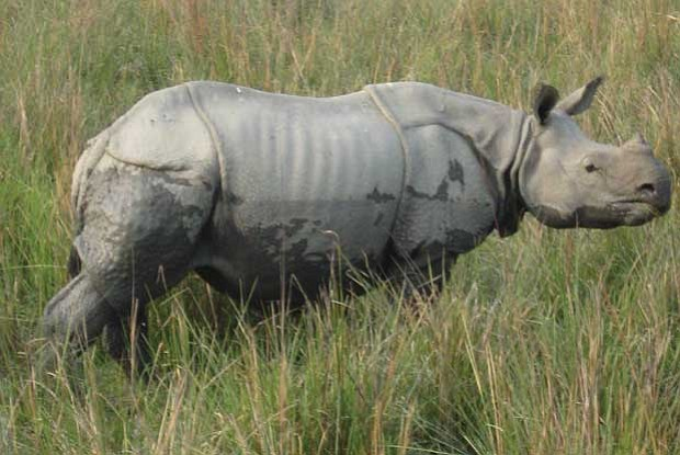 A one-horned rhinoceros, a rare species that a hundred-years-ago nearly vanis...