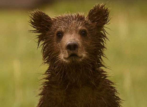 "A close up of bear cub from """"Bears Of The Last Frontier: City Of Bears."""