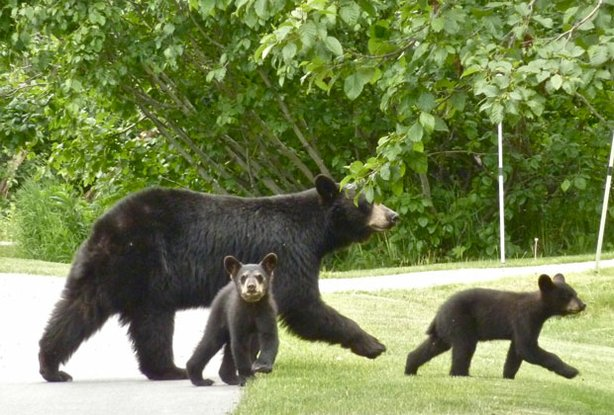 This mother black bear and her cubs are true urban bears. They have learned to look both ways before crossing the street.