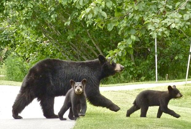 This mother black bear and her cubs are true urban bears. They have learned t...