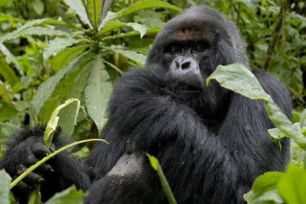 King among the mountain gorillas of Rwanda, Titus (pictured) is one of only 7...
