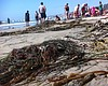 Kelp, Flies Cover San Diego Beaches