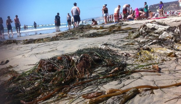 Kelp and seaweed cover La Jolla Shores beach on June 26, 2011.
