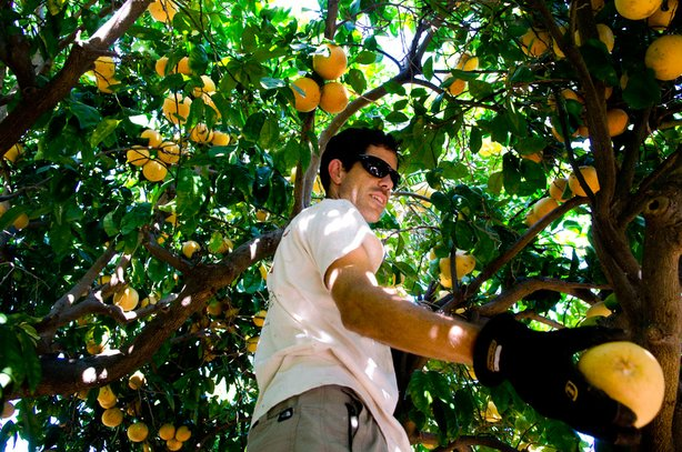 Philip Dunn picks grapefruit at a home orchard in La Mesa. The property owner...