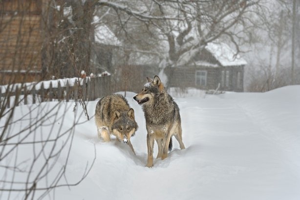 Wolves in an abandoned village in the Chernobyl exclusion zone.