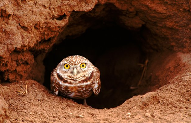 A burrowing owl peers out from its burrow, California.