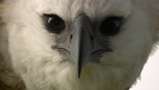 Close-up photo of a harpy eagle