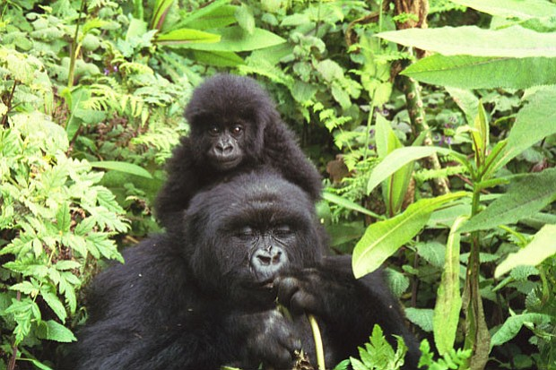 Gorilla mother and baby, Parc National des Volcans, Rwanda, August 4, 2005. F...