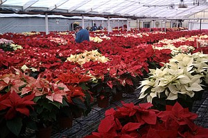 California's Gold: Holiday Classic: Poinsettias