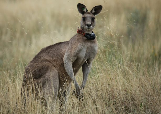 Black Spot, leader of a mob of street-smart kangaroos moving into Australia's capital city.