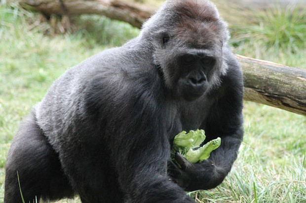 A gorilla at London Zoo in Regents Park.