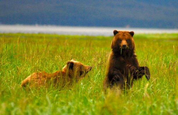 Brown bears on Alaska's Admiralty Island, which supports the largest concentration of bears anywhere in the world.