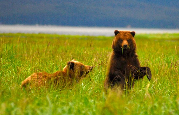 Brown bears on Alaska's Admiralty Island, which supports the largest concentr...
