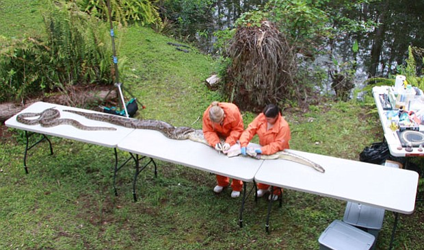 Scientists examine a Burmese Python found in the Florida Everglades.