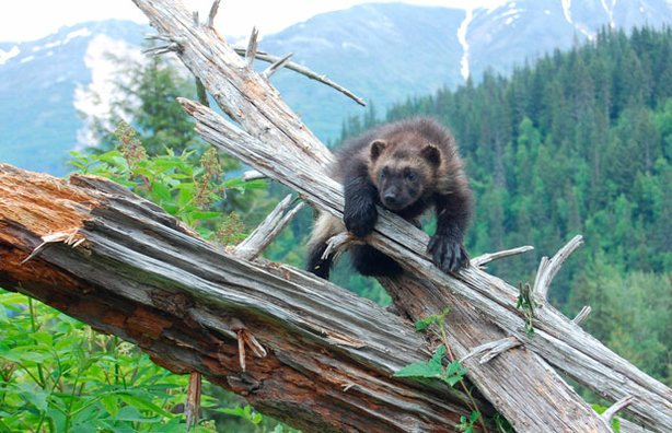 A wolverine kit hangs on to a tree branch in Haines, Alaska.