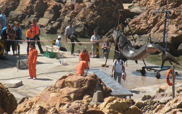 Experts travel to South Africa to dissect a 15-foot-long great white shark.