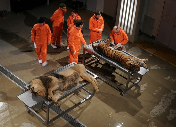 The scientists prepare to dissect a lion and tiger at London's Royal Veterina...