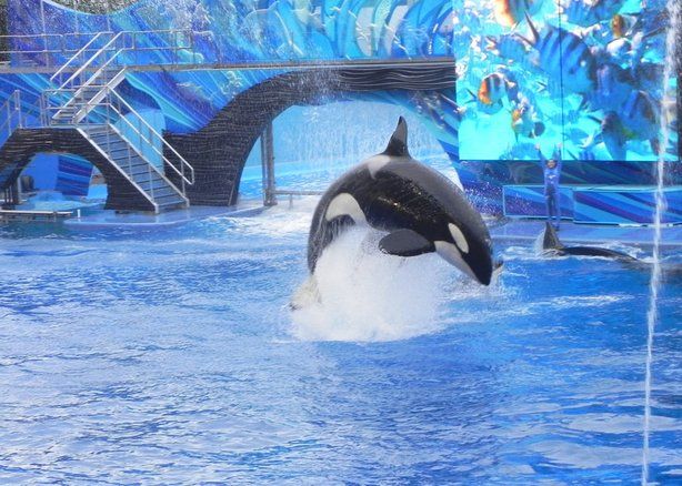 An orca whale at SeaWorld in July 2011.