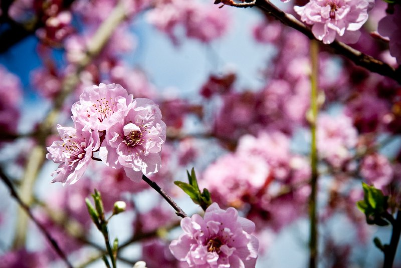 A Cherry Tree in bloom.