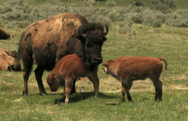 Bison cow and two calves, Yellowstone National Park.