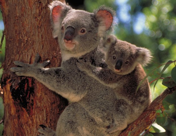 Koala with joey on a tree, learning to adapt to the consequences of urbanizat...