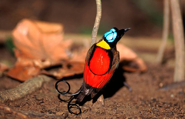 Wilson's bird of paradise male displaying to females on twig above, Irian Jay...