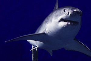 Report: Great White Shark Population Off California Is Gr...