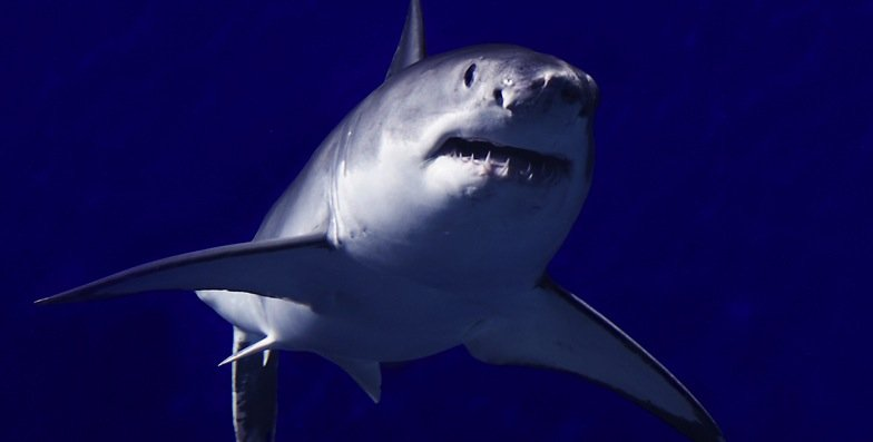 A great white shark swims near Mexico's Guadalupe Island.