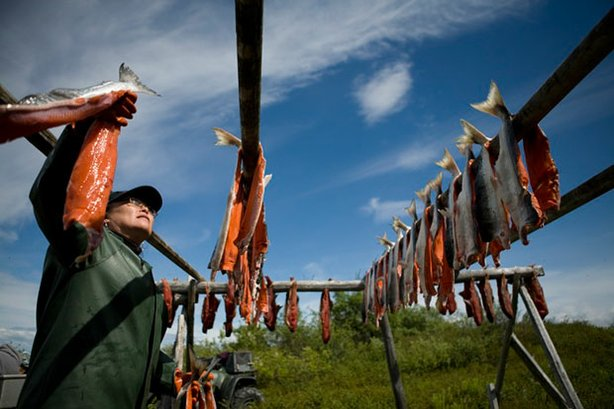 At her family's fish camp along the Kvichak River in Igiugig, Alaska, Lydia Olympic hangs her subsistence sockeye salmon to dry before smoking.