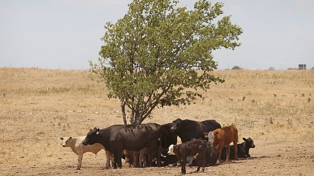Cattle use a tree for shade as temperatures rose above 100 degrees in a pastu...